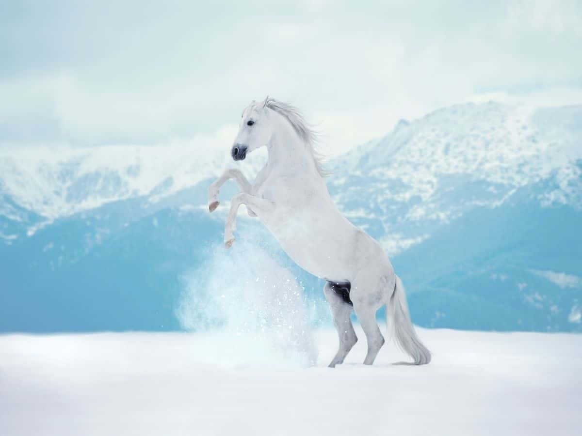 white horse in snow rearing up on hindl egs