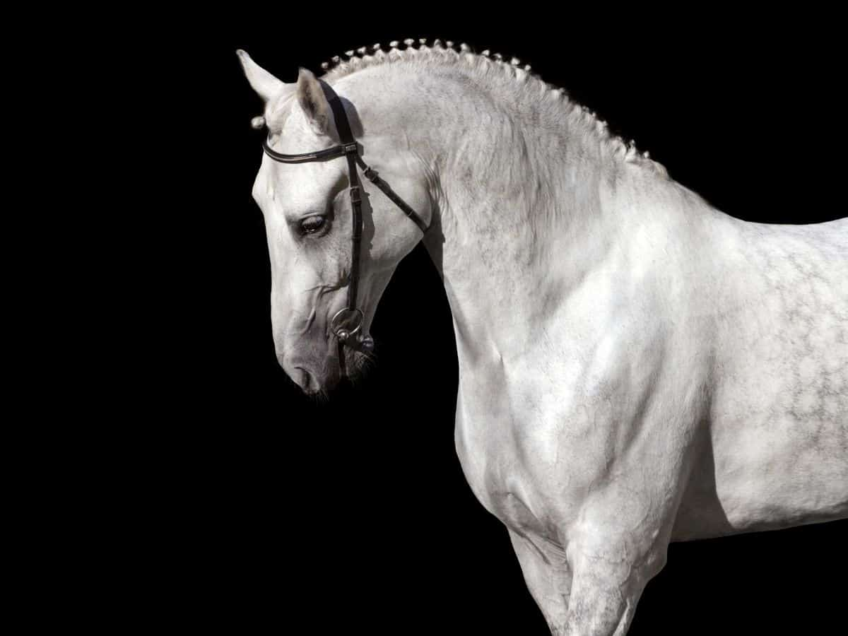 black background with white horse in halter and braided mane