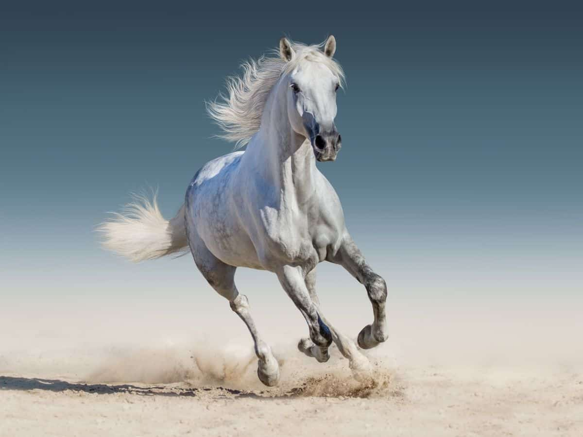 horse galloping in sand