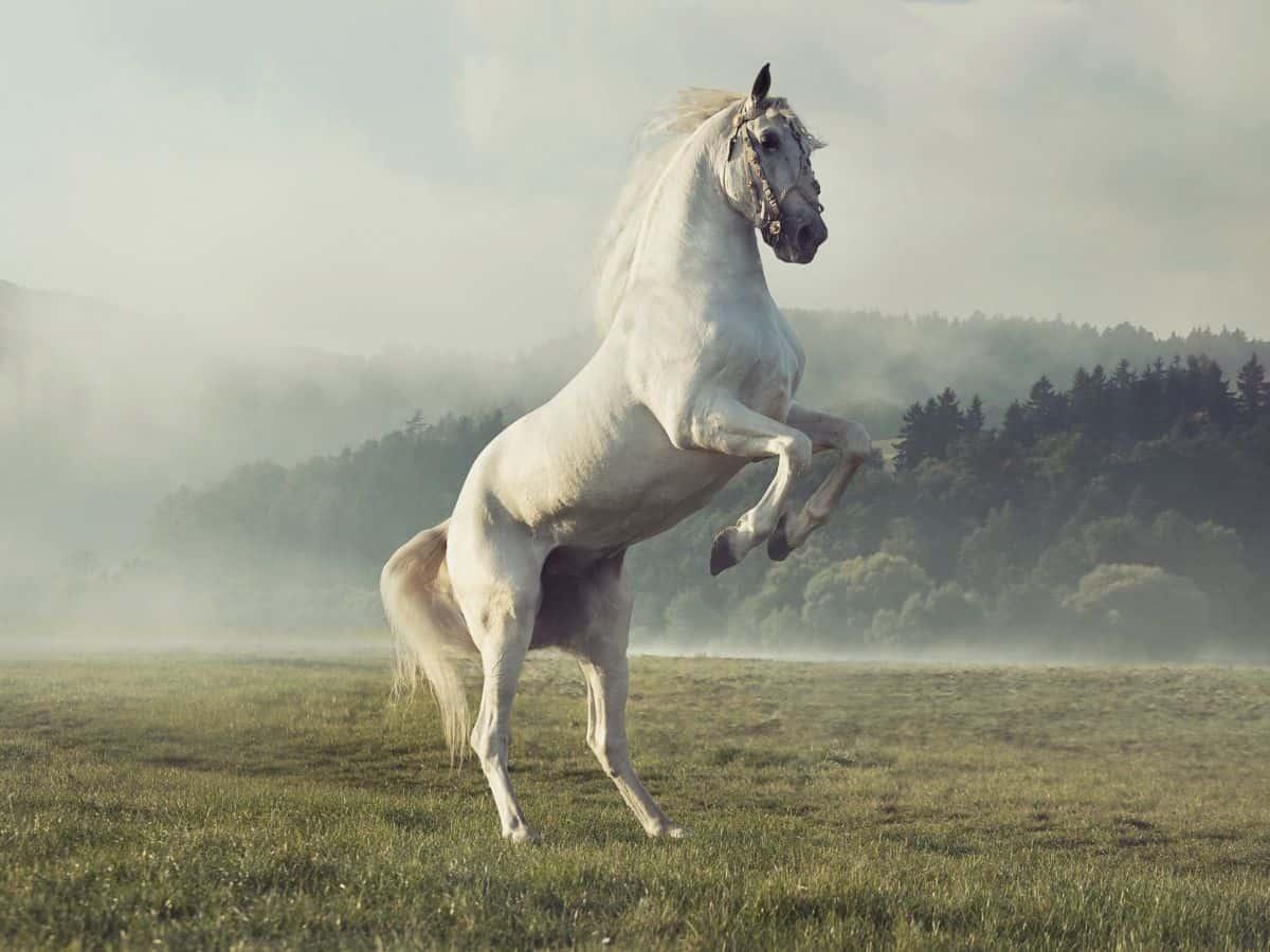 white horse rearing on hind leggs