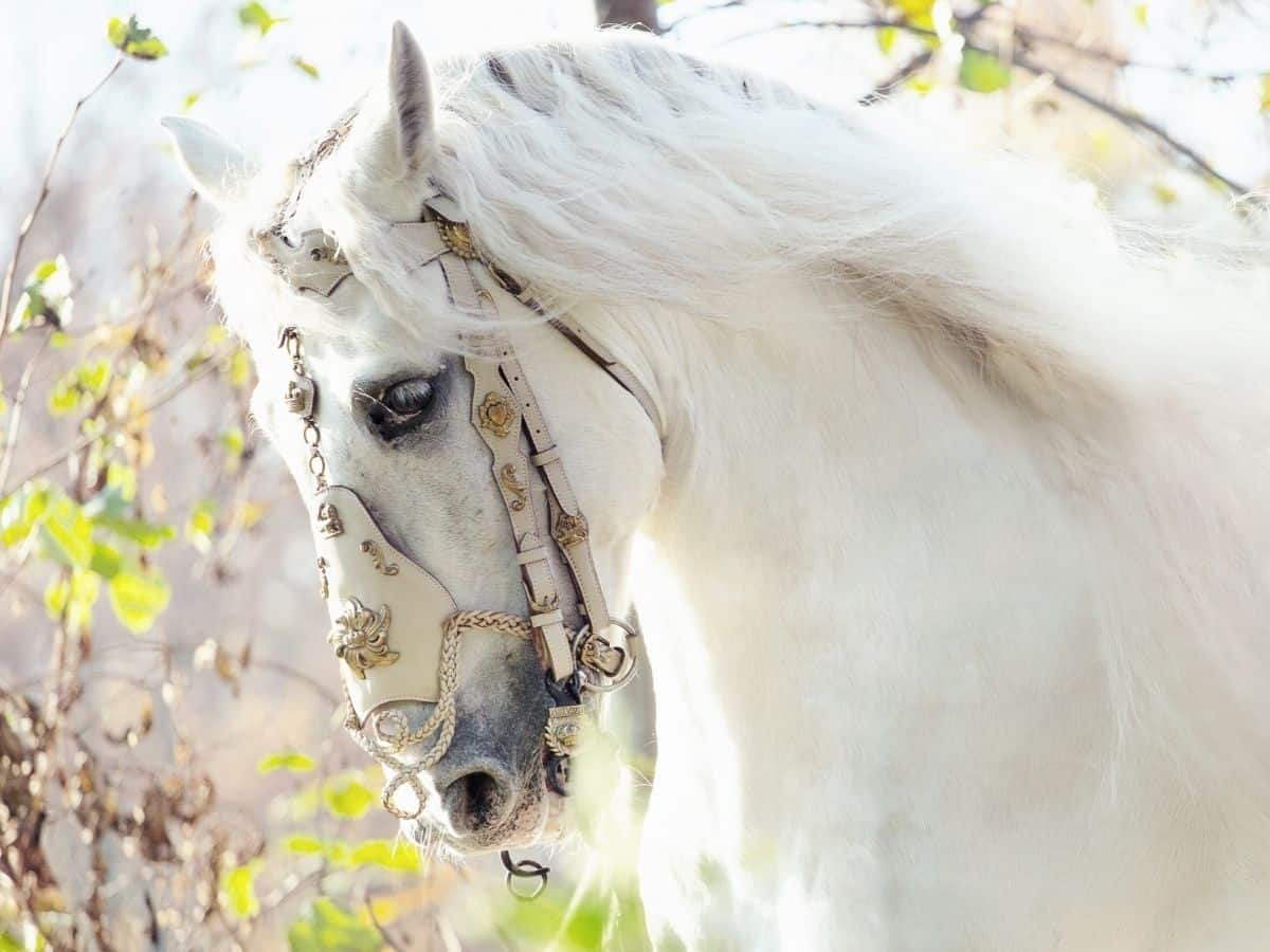 white horse with gold and white halter