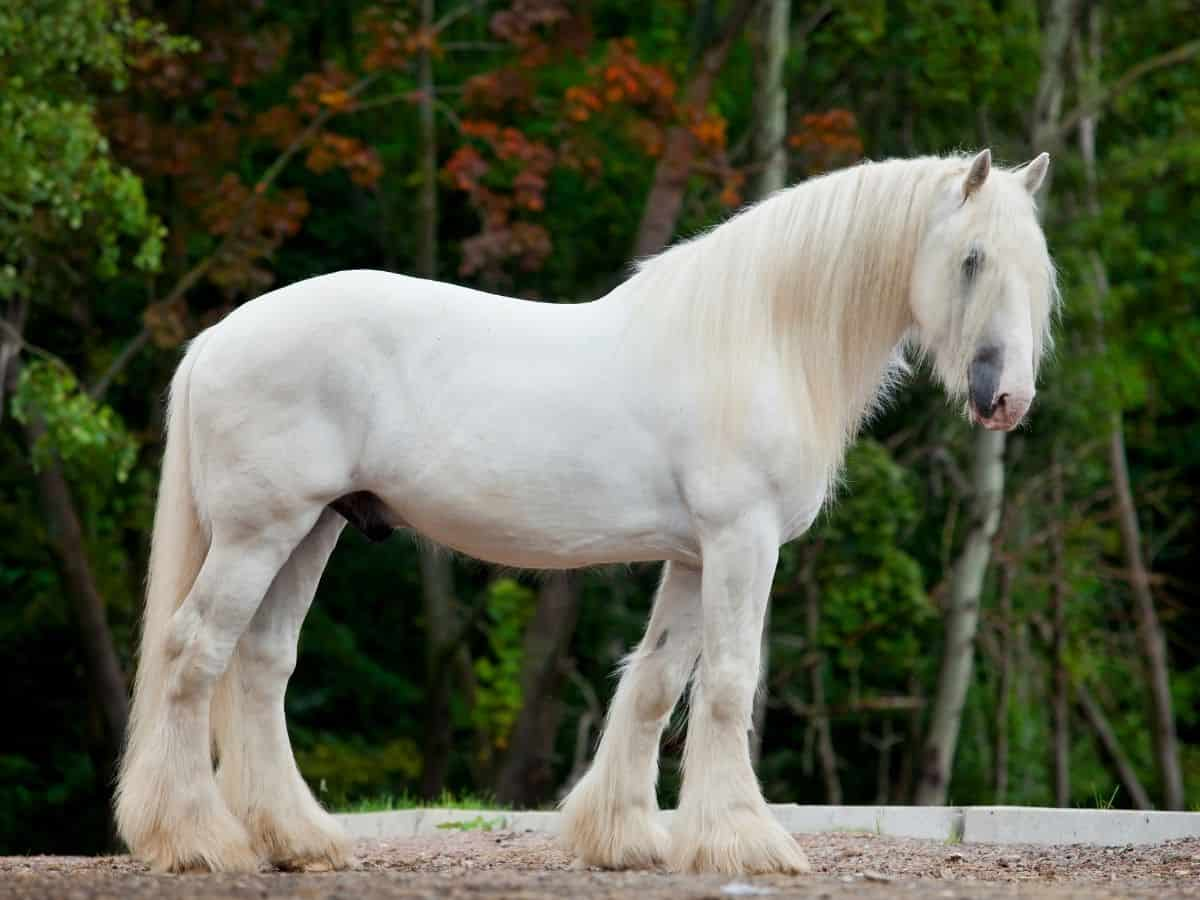 white horse with furry legs and mane against green background