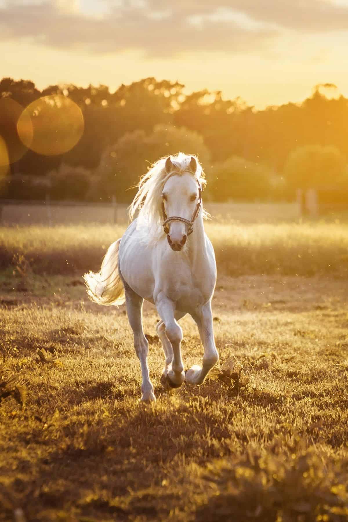 white horse running toward camera at sunset