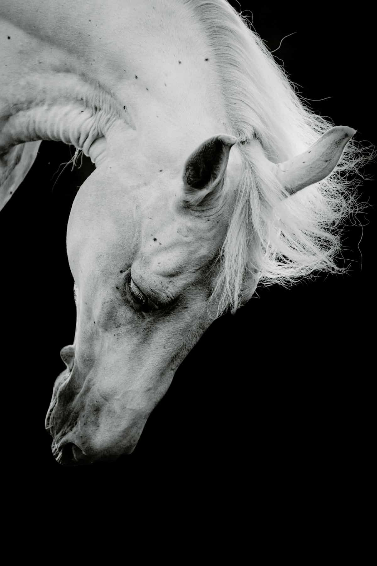 black background with white horse leaning down