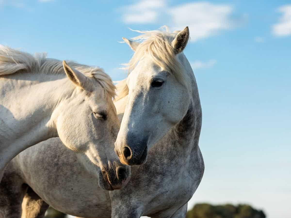 two white horses nuzzling each other