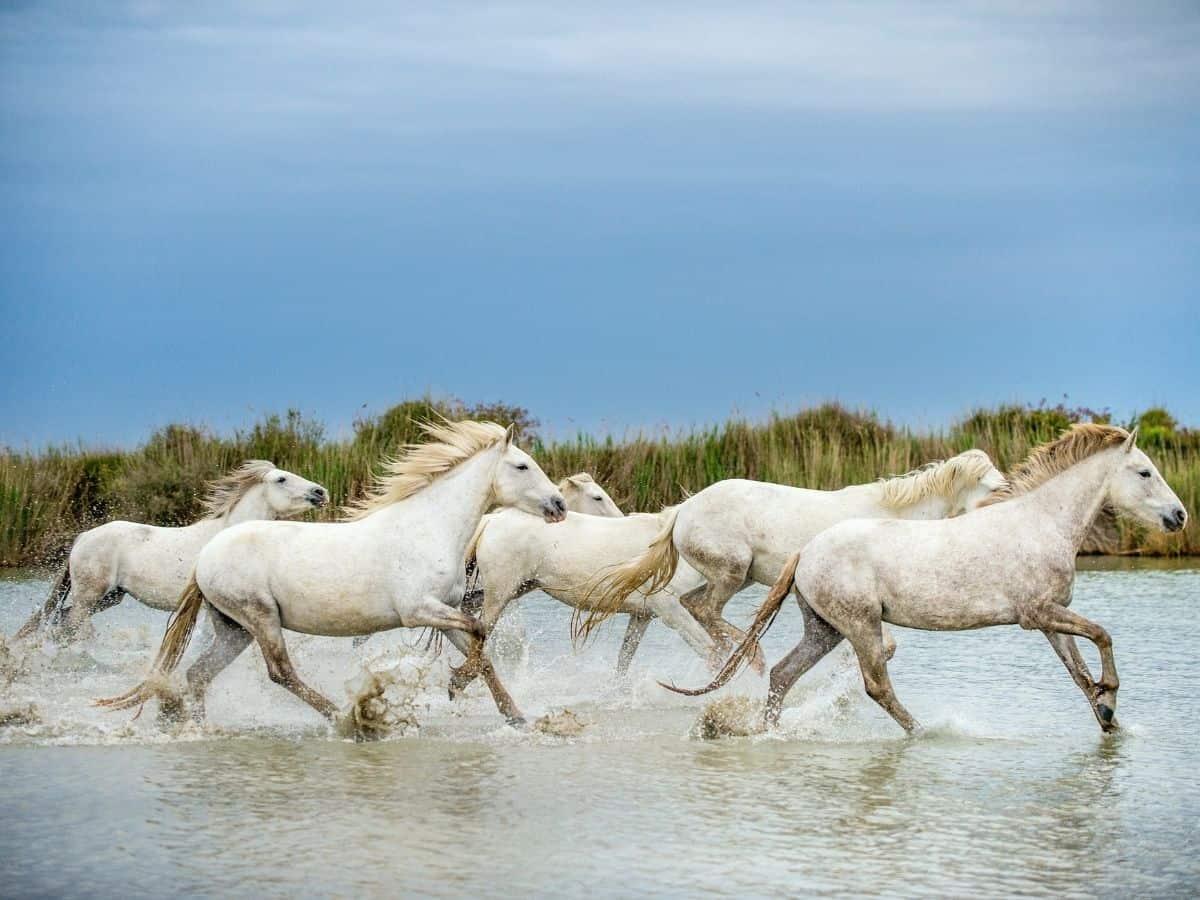 herd of white horses in water