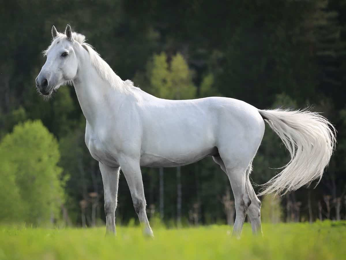 white horse on grass with tail moving