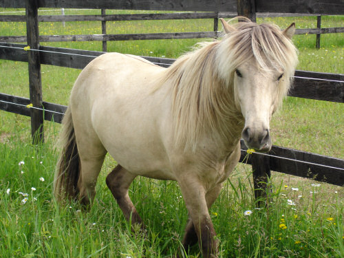 Icelandic Horse Society Of Great Britain IHSGB