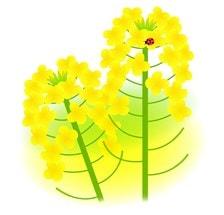 菜の花-min