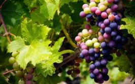 wine-fundamentals-vineyard-part-1-ftr
