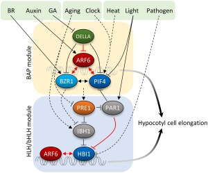Cell elongation is regulated through a central circuit of