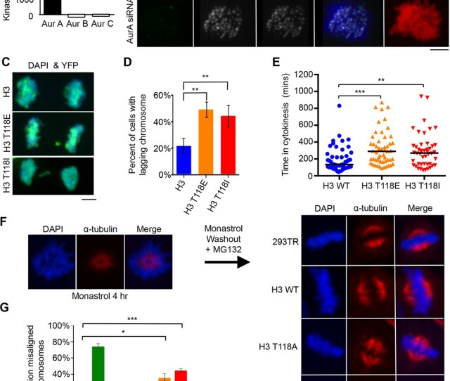 Aurora A Phosphorylates H3 T118 And Mutations That Mimic T118 Phosphorylation Cause Mitotic Defects