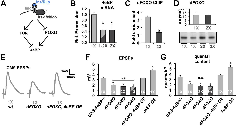 Insulin Signaling Controls Neurotransmission Via The 4ebp