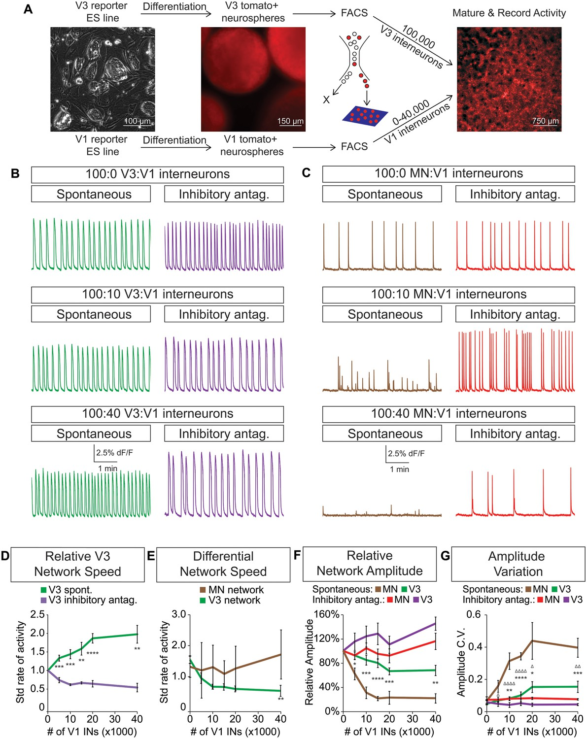 Speed And Segmentation Control Mechanisms Characterized In Rhythmically Active Circuits Created