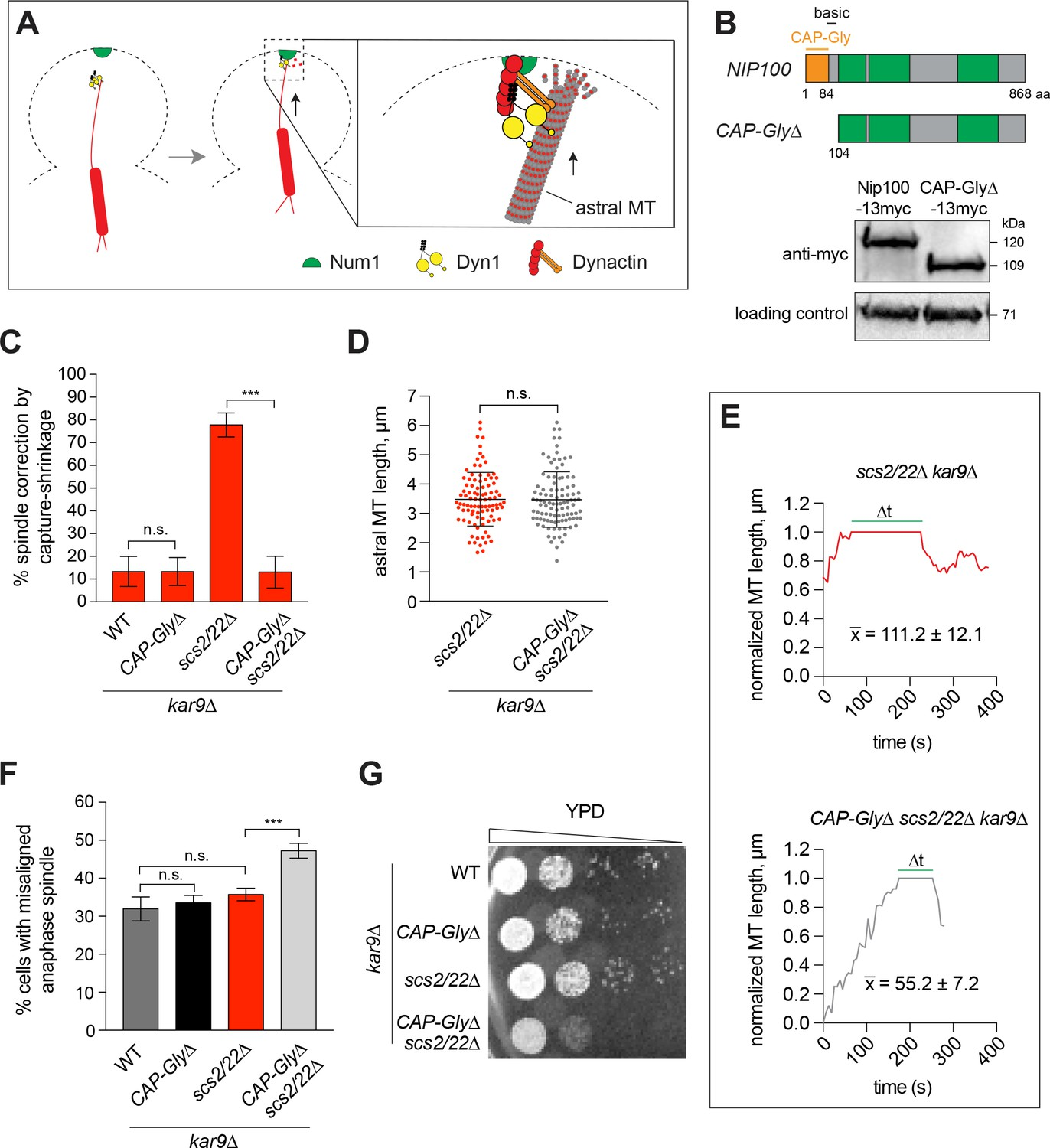 Cortical Dynein Pulling Mechanism Is Regulated By