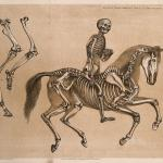 Skeleton Of A Man Riding The Skeleton Of A Horse Three Figures Including A Comparison Between The Leg And Foot Bones Of A Man And Those Of A Horse Lithograph By B