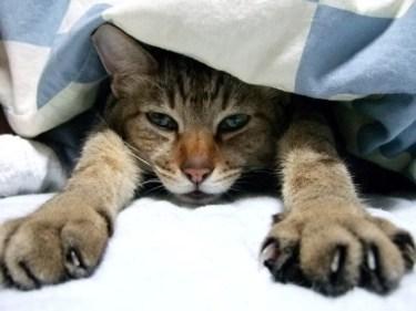 猫が飼い主のお布団に潜るのはなぜ?猫と添い寝をする方法