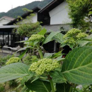 GWも終わり、いつにも増して静かな月曜日。先ほどいらしたお客様が「明日は武蔵御嶽神社の日の出祭️なので前泊で来ました」と仰っていました。春の例大祭である日の出祭(ひのでさい)は、武蔵御嶽神社で行われる祭の中でも、最も格式高く大切な祭だと言われています。毎年5月8日に行われ、前日の宵宮から始まり、当日は9:45出発でケーブルカー御岳山駅前広場から神社まで、神輿を中心とした神職・白丁・鎧武者・稚児の行列が通ります。 私の経験では、神輿を追い越す事は無理なので、登山道へ行かれる方は9:30位までに出発なさる事をオススメします️ 明日は、なんとか天気がもってくれると良いのですが…🌥️ (picは額アジサイの蕾です)http://ikadamitake.com#炭鳥 #蔵 #筏 #ikada #Tokyo #mitake #御岳 #御岳山 #mitakesan #御岳山ロックガーデン #武蔵御嶽神社 #多摩川 #御岳渓谷 #奥多摩フィッシングセンター #奥多摩 #ブドウ山椒 #おにぎり #味玉 #tasty #バイク #ロードバイク #カヌー #カヤック #リバーSUP #デッドエンド #ジムニー #ペット可 #日の出祭 #額アジサイ