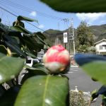 看板にピントが合っちゃってますが春椿も開花間近です これと紅梅は開花を待ちわびていたので実に嬉しいのです️ #蔵 #筏 #ikada #japan #Tokyo #mitake #御岳 #御岳山 #mitakesan #御岳山ロックガーデン #武蔵御嶽神社 #多摩川 #御岳渓谷 #奥多摩 #ブドウ山椒 #おにぎり#tasty #バイク #ロードバイク #カヌー #カヤック #リバーSUP #デッドエンド #ジムニー #JA22 #ペット可 #春椿