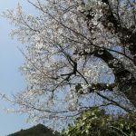 斜めお向かいさんの山桜がほぼ満開になりました この山桜は炭鳥 筏の外のカウンターに座っても見る事ができます 今朝、一枝頂いたので蔵の前に飾りました #蔵 #筏 #ikada #japan #Tokyo #mitake #御岳 #御岳山 #mitakesan #御岳山ロックガーデン #武蔵御嶽神社 #多摩川 #御岳渓谷 #奥多摩 #ブドウ山椒 #おにぎり#tasty #バイク #ロードバイク #カヌー #カヤック #リバーSUP #デッドエンド #ジムニー #JA22 #ペット可  #桜
