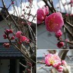 ️やっと蔵の前の紅梅が咲いて、とってもとっても嬉しいです️ なごり雪も溶けて今日は暖かいし、炭鳥 筏にも本当の春が訪れてくれた様に感じています #蔵 #筏 #ikada #japan #Tokyo #mitake #御岳 #御岳山 #mitakesan #御岳山ロックガーデン #武蔵御嶽神社 #多摩川 #御岳渓谷 #奥多摩 #ブドウ山椒 #おにぎり#tasty #バイク #ロードバイク #カヌー #カヤック #リバーSUP #デッドエンド #ジムニー #JA22 #ペット可 #紅梅