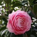 こちらも蔵の前。八重咲きの山茶花も咲き始めましたこの山茶花は毎年鈴なりに花を咲かせてくれます #蔵 #筏 #ikada #japan #Tokyo #mitake #御岳 #御岳山#mitakesan #御岳山ロックガーデン #武蔵御嶽神社 #多摩川 #御岳渓谷 #奥多摩 #ブドウ山椒 #おにぎり #tasty #バイク #ロードバイク #カヌー #カヤック #リバーSUP #デッドエンド #ジムニー #JA22 #ペット可 #山茶花