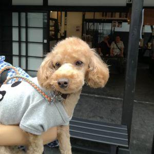 インスタをご覧になったご家族が #トイプードル のチョコくんと一緒に来て下さいましたチョコくんは、4歳の男の子ですサマーカットがよく似合って可愛いですね♪ご来店ありがとうございましたhttp://ikadamitake.com 営業時間11~17時(夏季)木曜定休(祭日は営業)#炭鳥 #蔵 #筏 #ikada #mitake #tokyo #御岳 #御岳山 #mitakesan #御岳山ロックガーデン #武蔵御嶽神社 #多摩川 #御岳渓谷 #御岳ランチ #奥多摩フィッシングセンター #奥多摩 #ブドウ山椒 #おにぎり #味玉 #バイク #ロードバイク #カヌー #カヤック #リバーSUP #アルパインクライミング #デッドエンド #ジムニー #ペット可