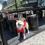 以前お越しの ケイティーちゃんのママ @katie_rie さんのご紹介で @nana.shiba1204 さんがご夫婦でお昼ごはんに来て下さいました#柴犬 のナナコちゃんは、8歳のとってもおとなしいレディーです🤗今日はすでに #奥多摩湖 まで行かれた帰りだそうです暑いけれど晴天で眺めが良かったでしょうね🏔️ ご来店ありがとうございましたhttp://ikadamitake.com 営業時間11~17時(夏季)木曜定休(祭日は営業)#炭鳥 #蔵 #筏 #ikada #mitake #tokyo #御岳 #御岳山 #御岳山ロックガーデン #武蔵御嶽神社 #多摩川 #御岳渓谷 #御岳ランチ #奥多摩フィッシングセンター #奥多摩 #ブドウ山椒 #おにぎり #味玉 #バイク #ロードバイク #カヌー #カヤック #リバーSUP #ラフティング #アルパインクライミング #デッドエンド #ジムニー #ペット可