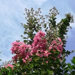 皆様お暑うございます炭鳥ikadaでは、やっと #サルスベリ が咲きました あと、あちこちに未だに子育て中のツバメの巣を見かけるんですが、例年こんな事はなかった様な…皆様のところではどうですか?http://ikadamitake.com 営業時間11~17時(夏季)木曜定休(祭日は営業)※むかし鳥、ばくだんは数に限りがございます。1個からお取り置き致します♪Tel.0428-85-8726#炭鳥 #蔵 #筏 #ikada #むかし鳥 #mitake #tokyo #御岳 #御岳山 #御岳山ロックガーデン #武蔵御嶽神社 #多摩川 #御岳渓谷 #ランチ #奥多摩フィッシングセンター #奥多摩 #ブドウ山椒 #おにぎり #味玉 #バイク #ロードバイク #カヌー #カヤック #リバーSUP #ラフティング #デッドエンド #ジムニー #ペット可