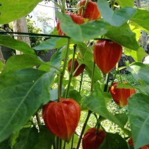 今日から8月ですね️相変わらずの猛暑ですが、台風の後から何だか風が爽やかな感じがします雨で地面や木々が冷えたおかげでしょうか。picは、ほぼ全ての実が赤く色づいた #ホオズキ ですhttp://ikadamitake.com 営業時間11~17時(夏季)木曜定休(祭日は営業)※むかし鳥、ばくだんは数に限りがございます。1個からお取り置き致します♪Tel.0428-85-8726#炭鳥 #蔵 #筏 #ikada #むかし鳥 #mitake #tokyo #御岳 #御岳山 #御岳山ロックガーデン #武蔵御嶽神社 #多摩川 #御岳渓谷 #ランチ #奥多摩フィッシングセンター #奥多摩 #ブドウ山椒 #おにぎり #味玉 #バイク #ロードバイク #カヌー #カヤック #リバーSUP #ラフティング #デッドエンド #ジムニー #ペット可
