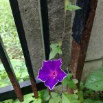 放置していた植木鉢。去年のこぼれ種から今頃になって #朝顔 が咲いていましたhttp://ikadamitake.com 営業時間11~17時(夏季)木曜定休(祭日は営業)※むかし鳥、ばくだんは数に限りがございます。1個からお取り置き致します♪Tel.0428-85-8726#炭鳥 #蔵 #筏 #ikada #むかし鳥 #mitake #tokyo #御岳 #御岳山 #御岳山ロックガーデン #武蔵御嶽神社 #多摩川 #御岳渓谷 #御岳ランチ #奥多摩フィッシングセンター #奥多摩 #日原鍾乳洞 #味玉 #バイク #ロードバイク #カヌー #カヤック #リバーSUP #ラフティング #デッドエンド #ペット可