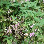 お隣に咲いている花#萩の花 でしょうか。炭鳥ikadaでは周りを含めて一年中何かしらの花が咲いていて、目を楽しませてくれていますhttp://ikadamitake.com 営業時間11~17時(夏季)木曜定休(祭日は営業)※むかし鳥、ばくだんは数に限りがございます。1個からお取り置き致します♪Tel.0428-85-8726#炭鳥 #蔵 #筏 #ikada #むかし鳥 #mitake #tokyo #御岳 #御岳山 #御岳山ロックガーデン #武蔵御嶽神社 #多摩川 #御岳渓谷 #御岳ランチ #奥多摩フィッシングセンター #奥多摩 #日原鍾乳洞 #味玉 #バイク #ロードバイク #カヌー #カヤック #リバーSUP #ラフティング #デッドエンド #ペット可