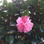 蔵の前に咲く #サザンカ今年はサザンカも開花が1ヶ月ほど早い様ですこれから2月位まで次々と咲いてくれます🤗http://ikadamitake.com営業時間11~17時(夏季)木曜定休(祭日は営業)※むかし鳥、ばくだんは数に限りがございます。1個からお取り置き致します♪Tel.0428-85-8726#炭鳥 #蔵 #筏 #ikada #むかし鳥 #炭鳥ikada #mitake #tokyo #御岳 #御岳山 #御岳山ロックガーデン #武蔵御嶽神社 #多摩川 #御岳渓谷 #御岳ランチ #奥多摩フィッシングセンター #奥多摩 #日原鍾乳洞 #味玉 #バイク #ロードバイク #カヌー #カヤック #リバーSUP #ラフティング #デッドエンド #ペット可 #山茶花
