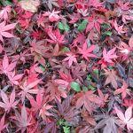 今日の落ち葉の絨毯は、もみじとても綺麗なので色んな角度で撮ってみましたhttp://ikadamitake.com営業時間・4月〜12月11~17時金曜定休(祭日は営業)※むかし鳥、ばくだんは数に限りがございます。1個からお取り置き致します♪Tel.0428-85-8726#むかし鳥 #炭鳥ikada #ばくだん #mitake #tokyo #御岳 #御嶽駅 #御岳山 #御岳山ロックガーデン #武蔵御嶽神社 #御岳神社 #多摩川 #御岳渓谷 #東京アドベンチャーライン #御岳ランチ #奥多摩フィッシングセンター #奥多摩 #日原鍾乳洞 #okutama #バイク #ロードバイク #カヌー #カヤック #riversup  #デッドエンド #ペット可 #もみじ #紅葉