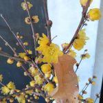 斜めお向かいさんから #蝋梅 を頂きましたまだ蕾が多いですが、近づくとウットリする様な芳香がします🤗 炭鳥 蔵 IKADAhttp://ikadamitake.com営業時間・1月〜  3月 11〜16時  4月〜12月 11〜17時金曜定休(祭日は営業)※むかし鳥、ばくだんは数に限りがございます。1個からお取り置き致します♪Tel.0428-85-8726#むかし鳥 #炭鳥ikada #ばくだん #mitake #tokyo #御岳 #御嶽駅 #御岳山 #御岳山ロックガーデン #武蔵御嶽神社 #御岳神社 #多摩川 #御岳渓谷 #東京アドベンチャーライン #御岳ランチ #奥多摩フィッシングセンター #奥多摩 #日原鍾乳洞 #okutama #バイク #ロードバイク #カヌー #カヤック #riversup  #デッドエンド #ペット可 #元旦から営業