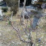 1枚目・一見枯れている様な #牡丹 も…2枚目・間近で見ると、ちゃんと芽吹きの支度をしています炭鳥ikadaの牡丹は、毎年ゴールデンウィークの後ぐらいに、赤紫色の艶やかな花を咲かせてくれます♪http://ikadamitake.com 営業時間 1月から3月  11~16時  4月から12月 11~17時金曜定休(祭日は営業)※むかし鳥、ばくだんは数に限りがございます。1個からお取り置き致します♪Tel.0428-85-8726#むかし鳥 #体験型 #炭鳥ikada #ばくだん #mitake #tokyo #御岳 #御岳山 #御岳山ロックガーデン #武蔵御嶽神社 #御岳神社 #多摩川 #御岳渓谷 #東京アドベンチャーライン #御岳ランチ #奥多摩フィッシングセンター #奥多摩 #日原鍾乳洞 #味玉 #串 #バイク #ロードバイク #カヌー #カヤック #リバーSUP #デッドエンド #ペット可 #ぼたん #ピオニー