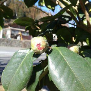 今日の椿固かったつぼみが少しずつ緩んで、中の赤い花びらも色濃く見える様になって来ました。この木には、赤い花と斑入りの花が咲きますhttp://ikadamitake.com 営業時間 1月から3月  11~16時4月から12月 11~17時金曜定休(祭日は営業)※むかし鳥、ばくだんは数に限りがございます。1個からお取り置き致します♪Tel.0428-85-8726#むかし鳥 #炭鳥ikada #ばくだん #mitake #tokyo #御岳 #御岳山 #御岳山ロックガーデン #武蔵御嶽神社 #御岳神社 #多摩川 #御岳渓谷 #東京アドベンチャーライン #御岳ランチ #奥多摩フィッシングセンター #奥多摩 #日原鍾乳洞 #味玉 #串 #バイク #ロードバイク #カヌー #カヤック #リバーSUP #デッドエンド #ペット可 #椿