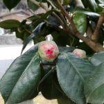 今朝の椿ますます赤が濃くなって来て、開花が待ち遠しいです http://ikadamitake.com 営業時間 1月から3月  11~16時  4月から12月 11~17時金曜定休(祭日は営業)※むかし鳥、ばくだんは数に限りがございます。1個からお取り置き致します♪Tel.0428-85-8726#むかし鳥 #体験型 #炭鳥ikada #ばくだん #mitake #tokyo #御岳 #御岳山 #御岳山ロックガーデン #武蔵御嶽神社 #御岳神社 #多摩川 #御岳渓谷 #東京アドベンチャーライン #御岳ランチ #奥多摩フィッシングセンター #奥多摩 #日原鍾乳洞 #味玉 #串 #バイク #ロードバイク #カヌー #カヤック #リバーSUP #デッドエンド #ペット可 #椿山荘花嫁