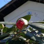 今日の椿今週咲きそうで楽しみです🤗