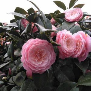 週末の暖かさで #乙女椿 も満開になりました八重咲きでピンク色が綺麗な乙女椿は、冬と春の2回咲いてくれます♪http://ikadamitake.com営業時間・4月〜12月 11〜17時1月〜3月 11〜16時金曜定休(祭日は営業)※むかし鳥、ばくだんは数に限りがございます。1個からお取り置き致します♪Tel.0428-85-8726#むかし鳥 #体験型 #炭鳥ikada #ばくだん #mitake #御岳 #御嶽駅 #御岳山 #御岳山ロックガーデン #武蔵御嶽神社 #御岳神社 #御岳渓谷 #東京アドベンチャーライン #御岳ランチ #奥多摩フィッシングセンター #奥多摩 #日原鍾乳洞 #イマタマ #バイク #ロードバイク #サイクリング #カヌー #カヤック #ラフティング #riversup #デッドエンド #ペット可 #maidencamellia