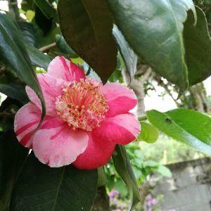 今季最後の #椿 の一輪今年も沢山の花を咲かせてくれてありがとうhttp://ikadamitake.com 営業時間4月から12月 11~17時1月から3月 11~16時金曜定休(祭日は営業)※むかし鳥、ばくだんは数に限りがございます。1個からお取り置き致します♪Tel.0428-85-8726#むかし鳥 #体験型 #炭鳥ikada #ばくだん #mitake #御岳 #御岳山 #御岳山ロックガーデン #武蔵御嶽神社 #御岳神社 #御岳渓谷 #東京アドベンチャーライン #御岳ランチ #奥多摩フィッシングセンター #奥多摩 #日原鍾乳洞 #イマタマ #バイク #ロードバイク #カヌー #カヤック #リバーSUP #ラフティング #デッドエンド #ペット可 #ツバキ