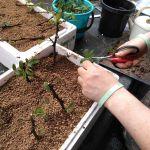 山椒の剪定と挿し木
