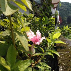 季節外れの #ツツジ薄い色ながらも元気に咲いていますhttp://ikadamitake.com営業時間・4月〜12月 11〜17時1月〜3月 11〜16時金曜定休(祭日は営業)※むかし鳥、ばくだんは数に限りがございます。1個からお取り置き致します♪Tel.0428-85-8726#むかし鳥 #体験型 #炭鳥ikada #ばくだん #mitake #御岳 #御嶽駅 #御岳山 #御岳山ロックガーデン #武蔵御嶽神社 #御岳神社 #御岳渓谷 #御岳ランチ #奥多摩フィッシングセンター #奥多摩 #日原鍾乳洞 #奥多摩湖 #バイク #ロードバイク #サイクリング #カヌー #カヤック #ラフティング #riversup #御岳ボルダー #ペット可 #躑躅
