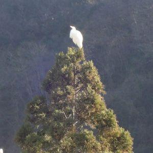 今日は、近くの山に住んでいる鷺が、とても近くの木に留まっていました🌳ここに住んでからずっと見かける鳥なので、親近感がわいていますhttp://ikadamitake.com営業時間・1月〜3月 11〜16時4月〜12月 11〜17時金曜定休(祭日は営業)Tel.0428-85-8726#むかし鳥 #体験型 #炭鳥ikada #ばくだん #mitake #御岳 #御嶽駅 #御岳山 #御岳山ロックガーデン #武蔵御嶽神社 #御岳神社 #御岳渓谷 #御岳ランチ  #青梅ランチ #奥多摩フィッシングセンター #奥多摩 #奥多摩湖 #バイク #ロードバイク #サイクリング #カヌー #カヤック #ラフティング #riversup #御岳ボルダー #ペット可 #鷺