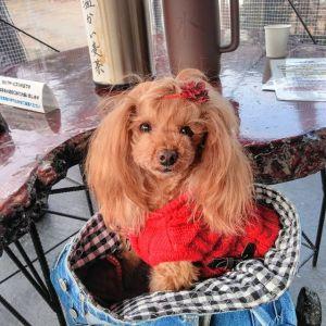 """多摩地区にお住まいのご夫婦 @ramu_haha さんが、可愛いワンちゃんと一緒にお昼ごはんにお越し下さいました🥚福生にある、大人気の小型犬の為のお庭 @dog.small.garden.koniwan さんが1月3日に当店をpostして下さったのをご覧になって、それで来て下さったとの事、ありがとうございます🤗""""ラムちゃん""""は #トイプードルレッド の、7歳の女の子♀ですおうちでは元気なラムちゃんだそうですが、炭鳥ikadaではとてもおとなしくってお利口さんな女の子でした赤いお洋服と髪留めが、たまたまだそうですがママのお洋服と同じ赤い色で、ペアルックの様でとっても素敵でした ご来店ありがとうございましたhttp://ikadamitake.com営業時間・1月〜3月 11〜16時4月〜12月 11〜17時金曜定休(祭日は営業)Tel.0428-85-8726#むかし鳥 #体験型 #炭鳥ikada #ばくだん #mitake #御岳 #御嶽駅 #御岳山 #御岳山ロックガーデン #武蔵御嶽神社 #御岳神社 #御岳渓谷 #御岳ランチ  #青梅ランチ #奥多摩フィッシングセンター #奥多摩 #奥多摩湖 #バイク #ロードバイク #サイクリング #カヌー #カヤック #ラフティング #riversup #御岳ボルダー #ペット可"""