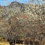 梅の木たち
