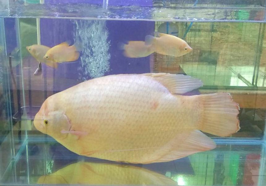 Ikan Gurame Padang Hias