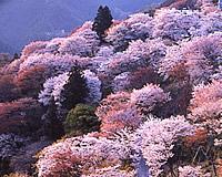 吉野 桜 名所 おすすめ