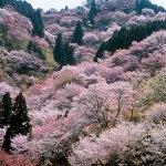 吉野の桜の見頃は?名所や駐車場、おすすめ宿もご紹介!