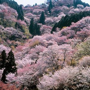 吉野 桜 名所 おすすめ 5